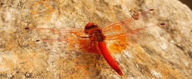 Orange-Winged Dragonfly Royalty Free Stock Photography