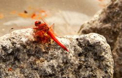 Orange-Winged Dragonfly Stock Image