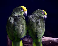 Orange-winged Parrot Royalty Free Stock Photo
