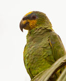 Orange-winged Parrot portrait Royalty Free Stock Photos