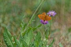 Orange wings butterfly on purple flower