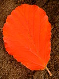 Orange Witch Hazel Leaf Stock Images