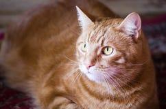 Orange wondrous cat. With big brown eyes Royalty Free Stock Image