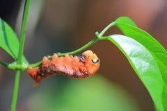 Orange Wurm Lizenzfreies Stockfoto