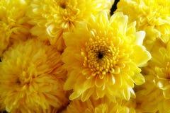 Orange-Yellow λουλούδια χρυσάνθεμων κινηματογραφήσεων σε πρώτο πλάνο Στοκ φωτογραφίες με δικαίωμα ελεύθερης χρήσης
