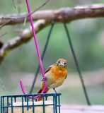 Fledgling Oriole on the feeder cage Royalty Free Stock Images