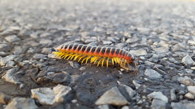 Orange yellow black millipede in the road Royalty Free Stock Image