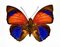 Orange yellow blue and brown butterfly closeup isolated on a whi Royalty Free Stock Photo