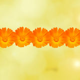 Orange and yellow Calendula officinalis flowers (pot marigold, ruddles, common marigold, garden marigold), texture background Royalty Free Stock Photography