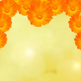 Orange and yellow Calendula officinalis flowers (pot marigold, ruddles, common marigold, garden marigold), texture background Stock Image