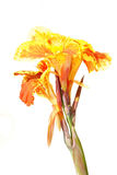 Orange and Yellow Canna Flower Stock Photo