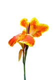 Orange and Yellow canna lily Stock Photos