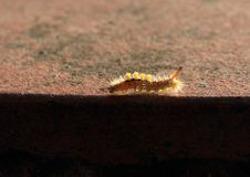 Orange and yellow caterpillar. Orange and yellow furry caterpillar of butterfly crawling on edge of table stock images