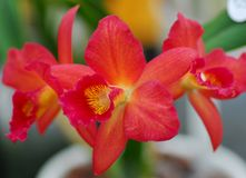 Orange yellow cattleya orchid flower Stock Image