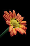 Orange and yellow chrysanthemum Stock Photo