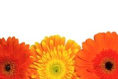 Orange and yellow chrysanthemum flowers Stock Image