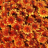 Orange and yellow chrysanths flowers on a sunny day Stock Photo
