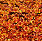 Orange and yellow chrysanths flowers on a sunny day Royalty Free Stock Photos