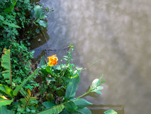 Orange and yellow color canna lily flower on river bank with gre. En plant and cloud reflection on water surface Royalty Free Stock Photos