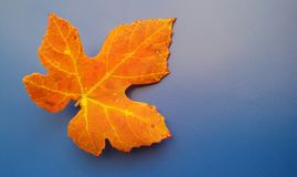 Beautiful orange fall leaf over blue background. Harmonic autumn colors. Orange and yellow colored fall leaf over blue background. Harmonic autumn colors.Time royalty free stock photography
