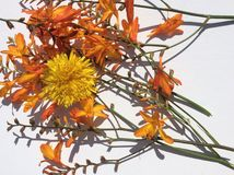 Orange and yellow country garden wild flower Royalty Free Stock Photography