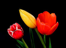 Orange Yellow and Crimson Tulips Stock Images