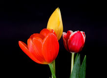 Orange Yellow and Crimson Tulips Royalty Free Stock Photography