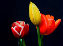Orange Yellow and Crimson Tulips Royalty Free Stock Photos
