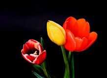Orange Yellow and Crimson Tulips Royalty Free Stock Images