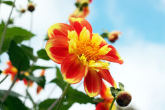 Orange and Yellow Dahlia Royalty Free Stock Images