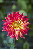 Orange and Yellow Dahlia flower royalty free stock image