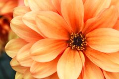 Orange yellow dahlia flower macro photo. Picture in color emphasizing the light orange colours and brown shadows. With the petals forming an intricate geometric Royalty Free Stock Photo