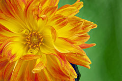 Orange and Yellow Dahlia with green background Royalty Free Stock Image