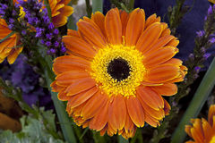 Orange and Yellow Daisy Royalty Free Stock Photography
