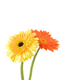 Orange and yellow  daisy-gerbera Stock Images
