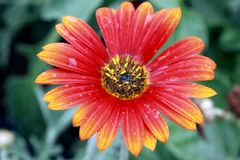 Orange and Yellow Daisy. Closeup, green leaves, water drops royalty free stock images