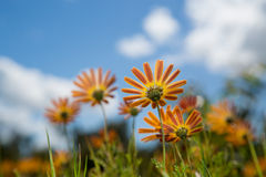 Orange and yellow daisy wildflowers Royalty Free Stock Image