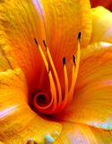 Orange yellow daylily center. Close up of the center of a daylily Royalty Free Stock Image
