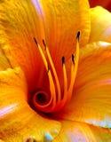 Orange yellow daylily center Royalty Free Stock Image