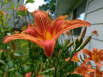Orange and yellow daylily flower home garden summer spring. Picture of a flower taken on my property Royalty Free Stock Photography