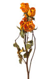 Orange and yellow dry roses Royalty Free Stock Image
