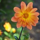 orange yellow för blomma Royaltyfria Bilder