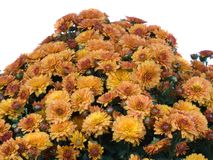 orange yellow för chrysanthemums Arkivbilder