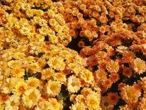 orange yellow för mums Royaltyfri Foto