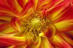 Orange & Yellow Fancy Dalhia. This is a bright orange and yellow fancy swirly dahlia. These are flowering bulbs that come back year after year in mild climates stock photography