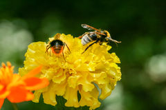 Orange, yellow field flower with a bee Stock Photography