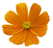 Orange-yellow  flower Kosmeja white isolated  background  with  clipping path.  No shadows. Closeup. Nature Stock Images