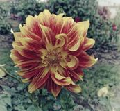 Orange and yellow flower vintage. Orange yellow flower filtered vintage plant nature stock photo