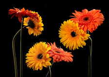 Orange and yellow flowers. With black background Royalty Free Stock Image