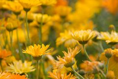 Orange and Yellow Flowers. Shallow depth of field, orange and golden yellow flowers Royalty Free Stock Image